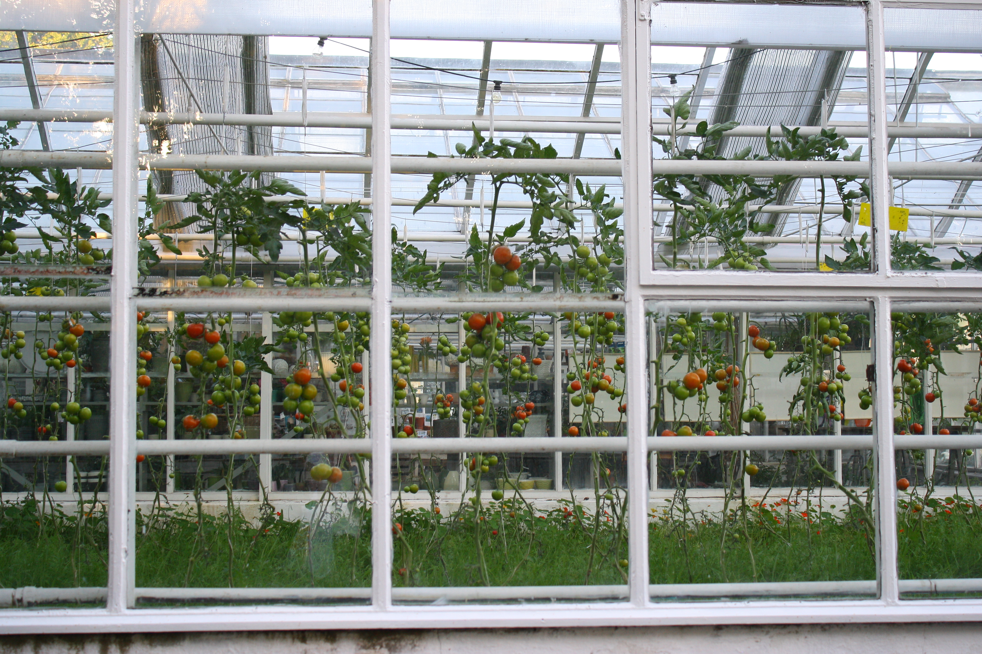 Tomatoes Greenhouse
