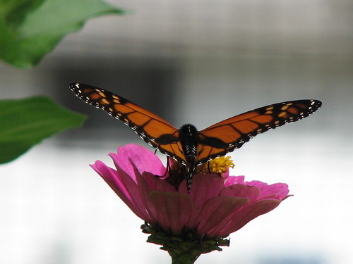 09/14/2014: Monarch butterfly on zinnia | by Cuyahoga jco