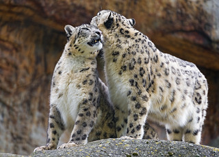 Snuggling snow leopards | by Tambako the Jaguar