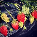いちごうまい。 #strawberry #いちご