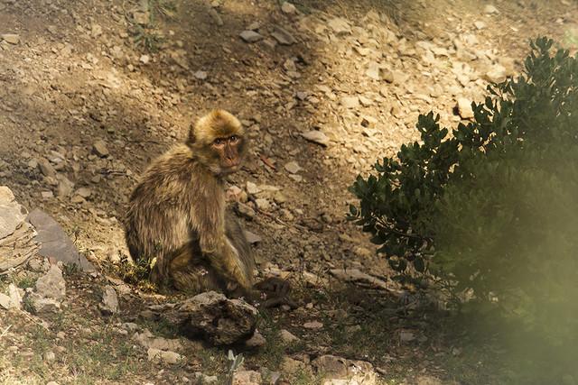 Macaca sylvanus - Macaco de Berbería - Macaco-de-gibraltar - Macaque de Barbarie - bertuccia o scimmia di Barberia - Barbary macaque, Barbary ape, or magot -