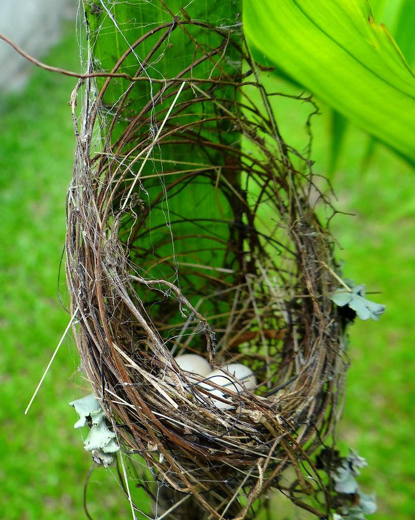 Ermitaño pecho canela [Rufous-breasted Hermit] (Glaucis hirsutus affinis) (Nido + huevos [Nest + eggs])