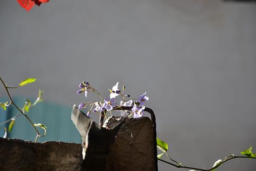 Solanum jasminoides - faux-jasmin 14484680499_e6f7be93ac