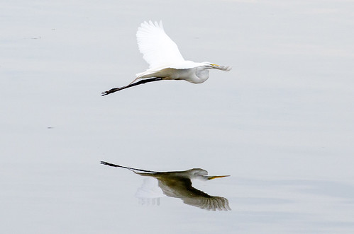 lakeeriemetropark birdinflight reflection glassywater egret greategret tamron70300mmspf456divcusd tamron70300mm michiganinpictures wildlifewednesday michigan 1000views onethousandviews