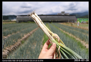 20140720_spring_onion | by quench
