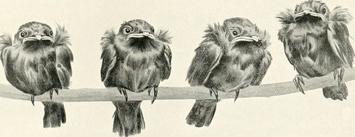 "Image from page 290 of ""Nests and eggs of birds found breeding in Australia and Tasmania"" (1901) 