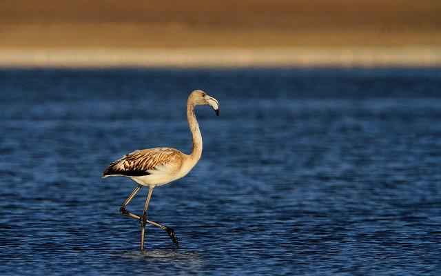 Flamingo (Phoenicopterus)