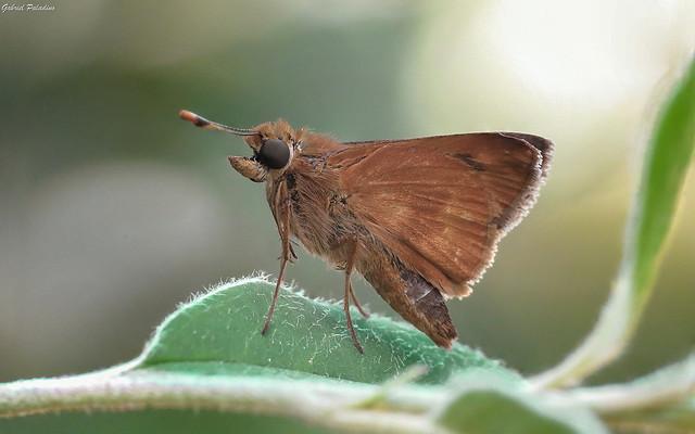 Skipper | Saltarina de alas plegadas