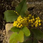 Oregon Grape Blossoms