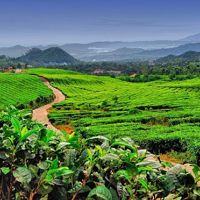 Gambar Kebun Teh Jamus Ngawi Kebun Teh Jamus Ngawi Ari Dyah Flickr