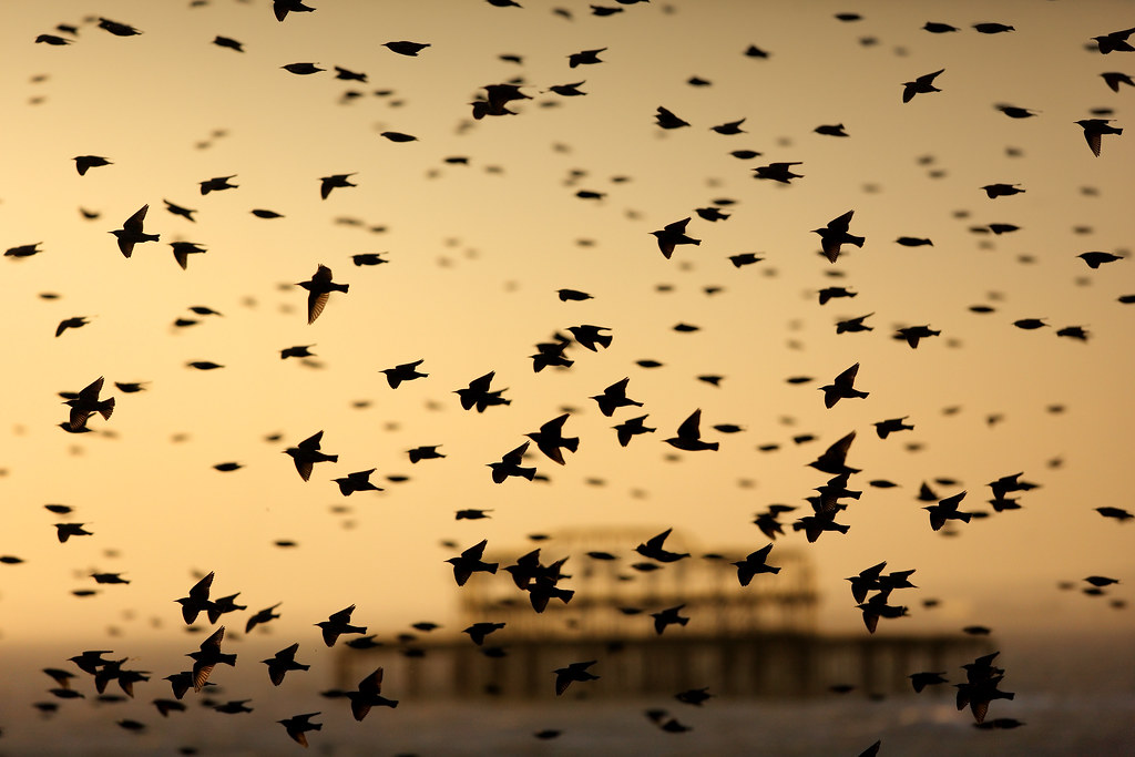 Murmuration and West Pier