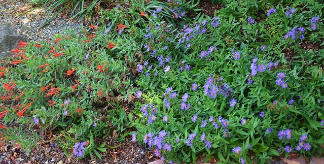Symphyotrichum chilense 'Deep Purple' - Deep Purple Pacific Aster and Epilobium canum 'Everett's Choice' - Everett's Choice California Fuschsia