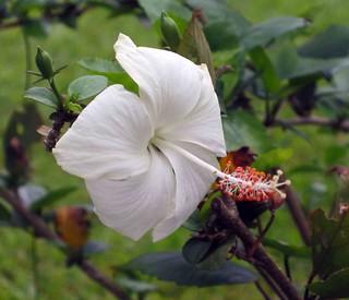 朱槿(扶桑) Hibiscus rosa-sinensis  [香港動植物公園 Hong Kong Botanical Garden]