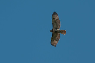 Red-tailed Hawk | by chlorophonia