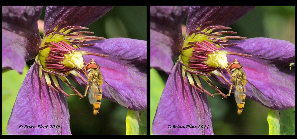 Hoverfly on Clematis - 3d crossview