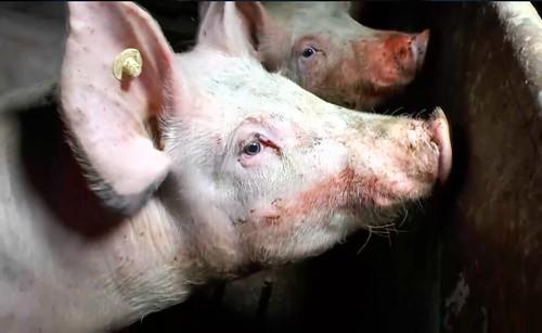 Investigación de Igualdad Animal en granjas de cerdos de Alemania
