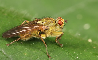 Yellow dung fly | by NS NO