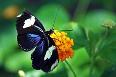 Butterfly - 17