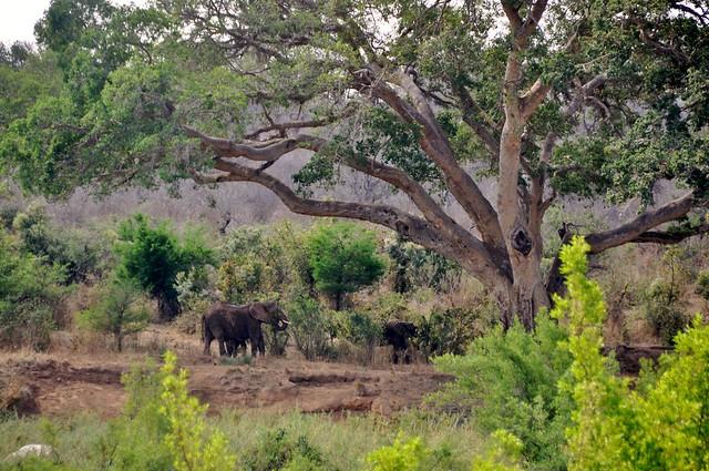 Elephants and giant fig tree