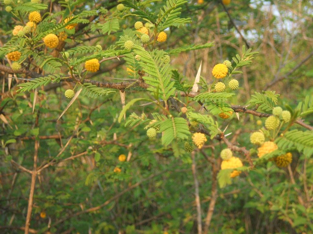 Acacia Macrantha Fabaceae Arbol De La Vida Flickr