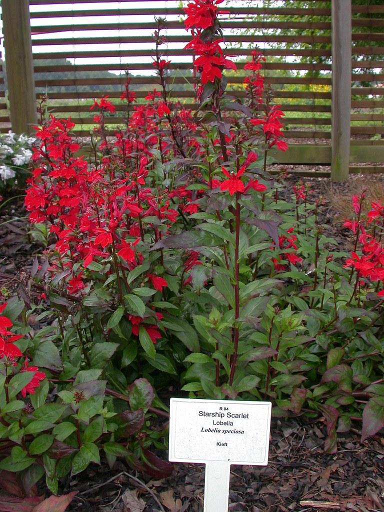Lobelia Speciosa Starship Scarlet Jc Raulston Arboretum Flickr