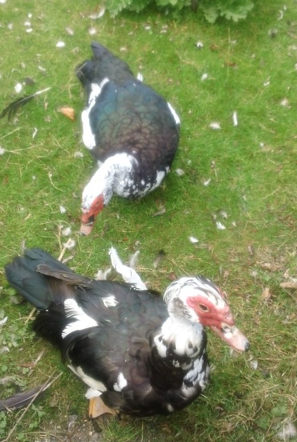 Otford's Muscovy ducks ... ... enjoying cheesecake (that's all I had to offer!)