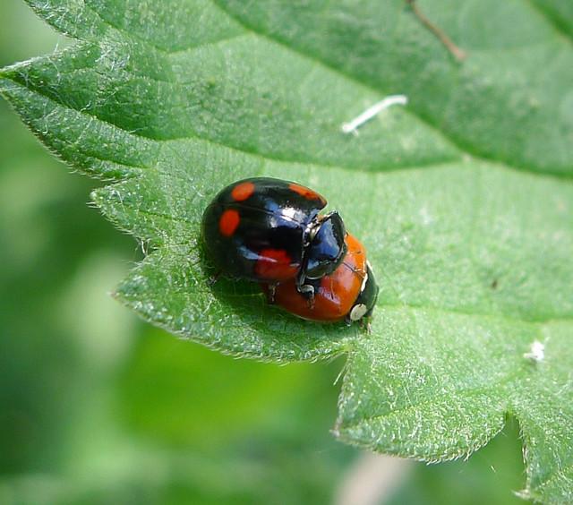 Forms of 2-spot Ladybird Adalia bipunctata.   Coccinellidae.