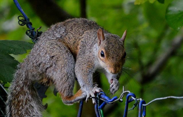High-Wire Squirrel