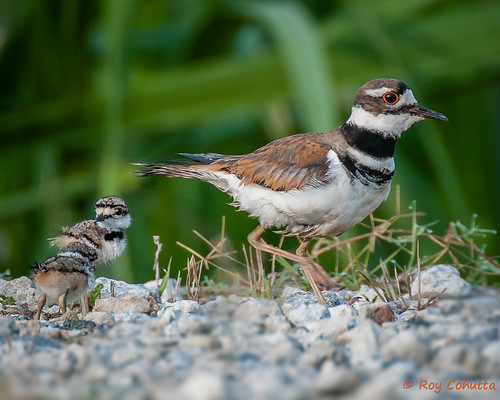 baby bird babies killdeer