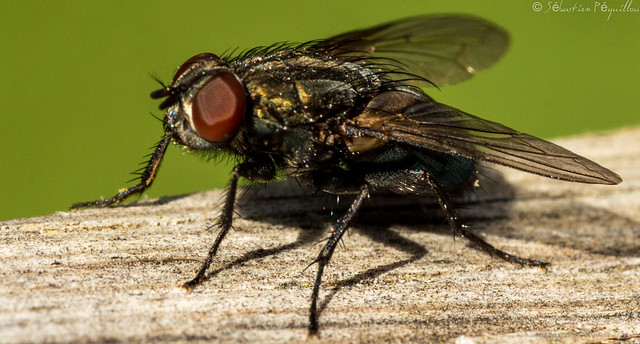 Mouche - Fly - Mosca