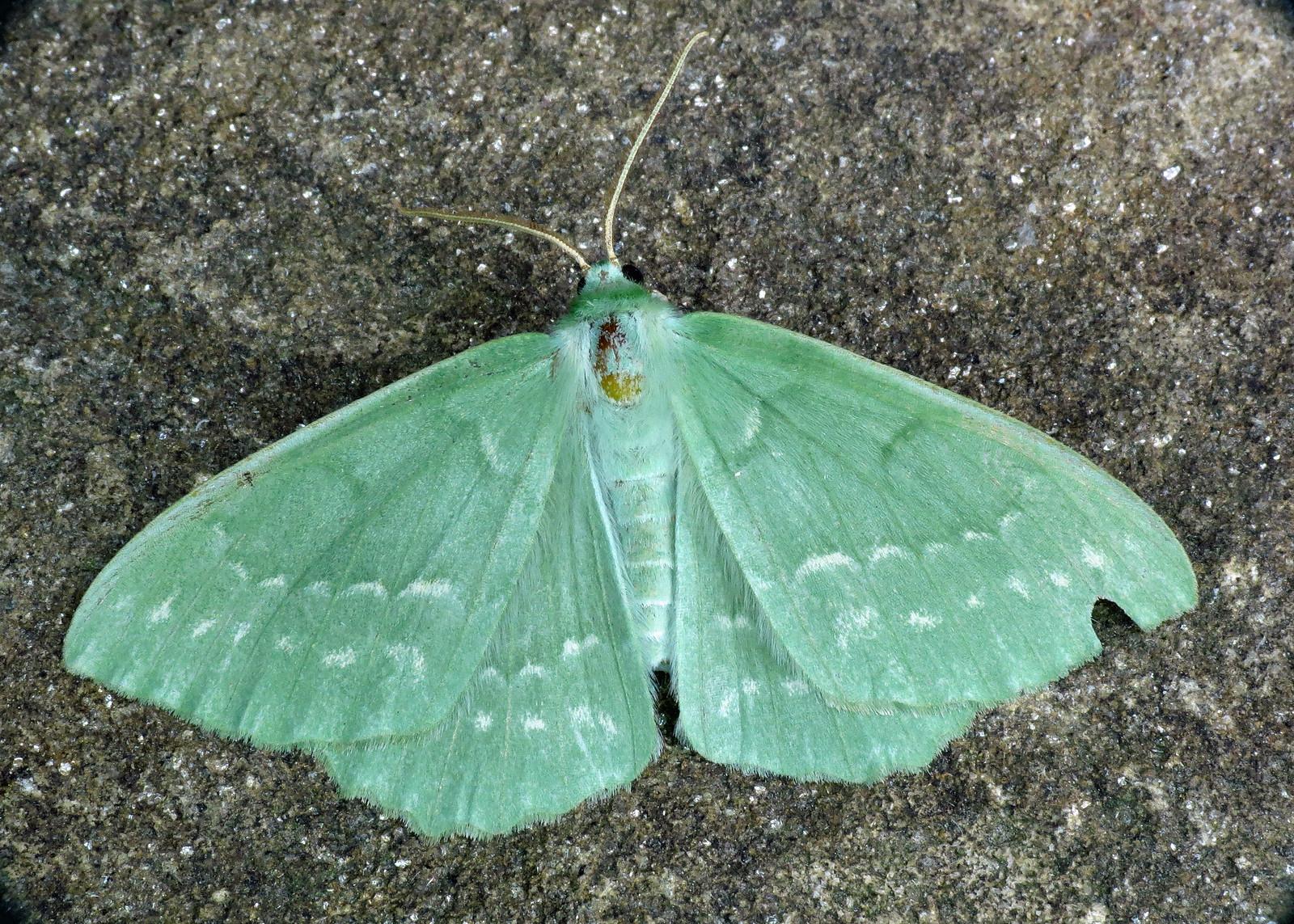 1666 Large Emerald - Geometra papilionaria