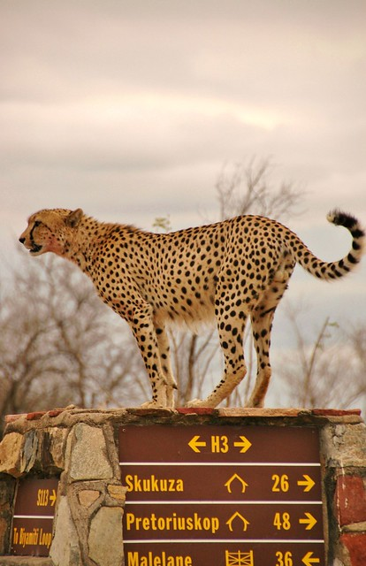 Which way to go?  Cheetah on Kruger roadsign