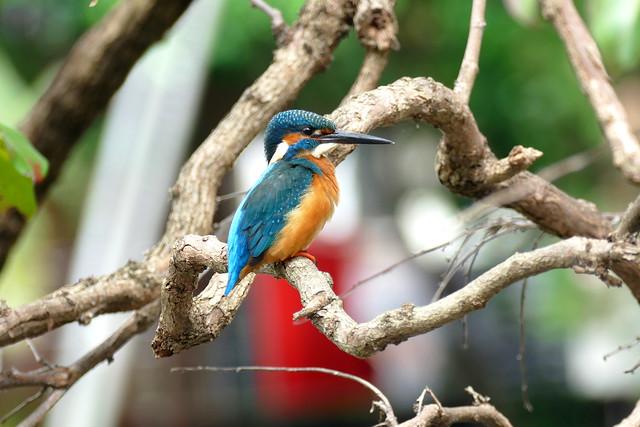 L1150069 Kingfisher