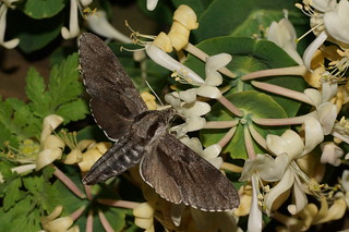 Pine Hawk-moth --  Sphinx pinastri | by manum.net - Photos from Manum Gård