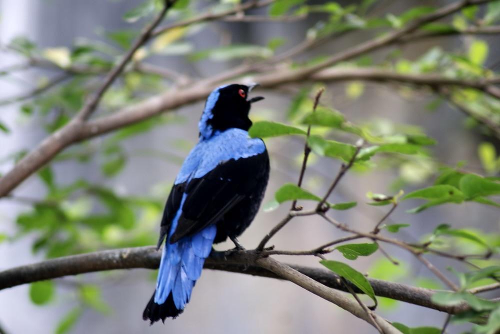 Burung Kepodang Biru