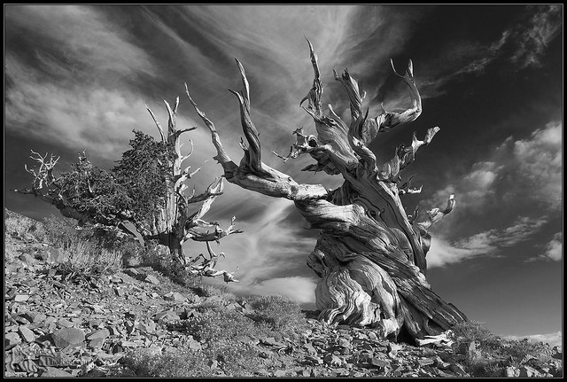 A Pair of Bristlecone Pines at Schulman Grove