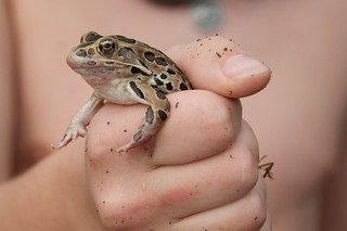 Beacon Shores Trip - August 2014 - Leopard Frog | by pmarkham