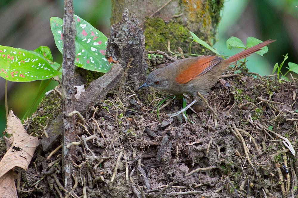 Synallaxis gujanensis