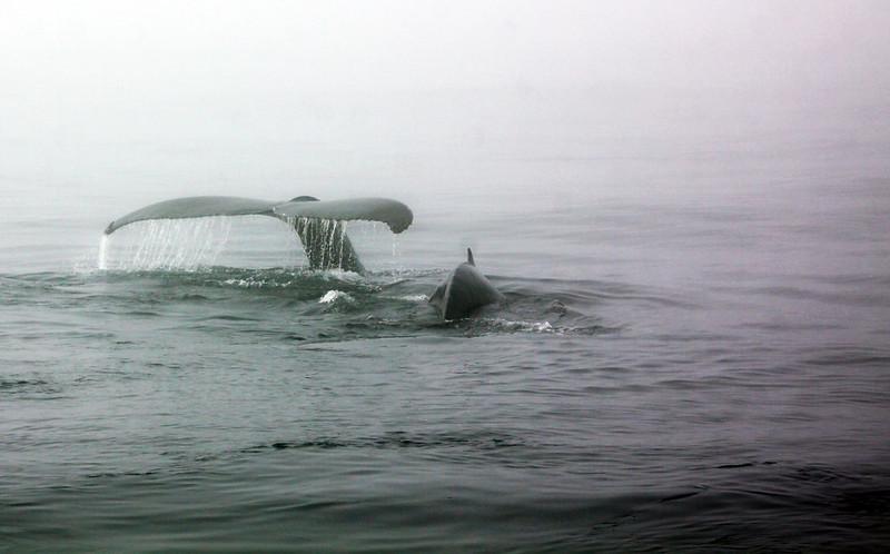 Brier Island whales