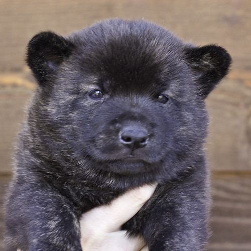 Nori-Litter2-30Days-Puppy4(male)a | by brada1878