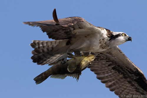 Osprey with a Fish | by cal.kong