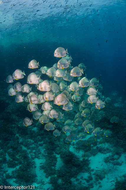 Schooling Batfish on Reef