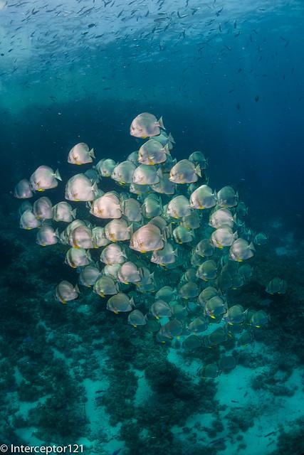 Schooling Batfish on Reef