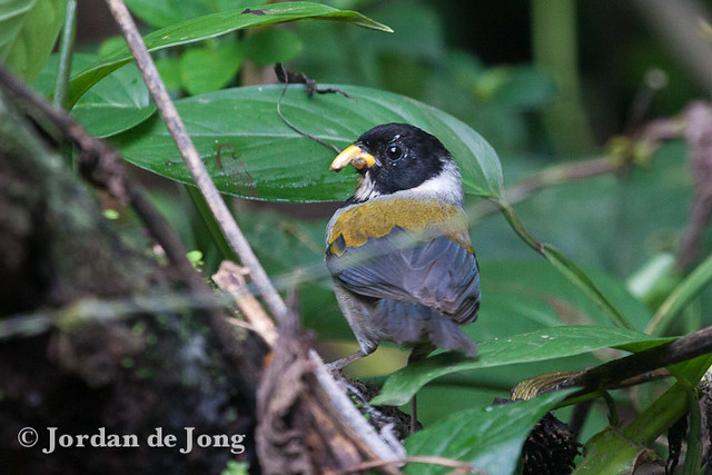 Golden-winged Sparrow, Arremon taciturnus with damaged beak.jpg