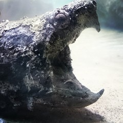 Hungry alligator turtle