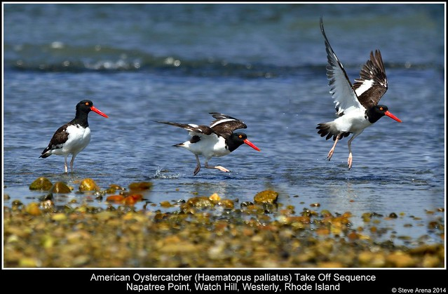 American Oystercatcher (Haematopus palliatus) - adult - take off / flight sequence