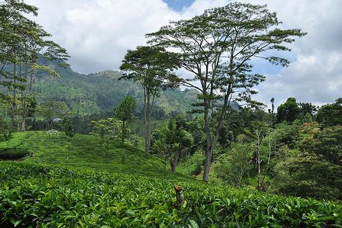 travel ceylon srilanka southasia asia teaplantations tea green landscape pussellawa rothschildteaplantation rothschildteafactory rothschildestate dnysmphotography dnysmsmugmugcom