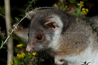 Common ringtail possum (Pseudocheirus peregrinus) | by Nathan Litjens