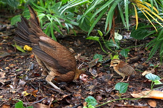singapore botanic garden - hen and chick | by salazar62