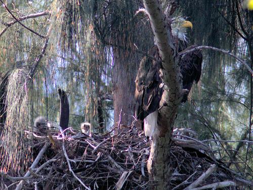 Bald Eagle female and 2 eaglets 2-20170227